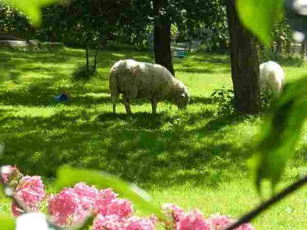 owce w sadzie