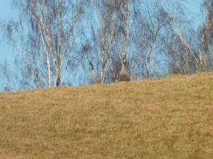 Pierwsze żurawie